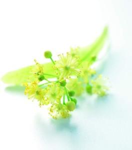 Tilia Grandifolia Lindenblüte