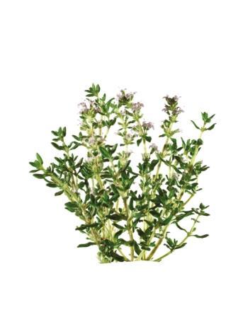 Thymus vulgaris - Thymian Foto: Bionorica