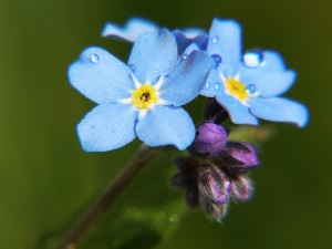 forget-me-not-862713_640
