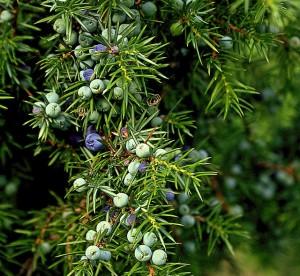 Gemeiner Wacholder, Juniperus communis