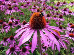 Sonnenhut/Echinacea