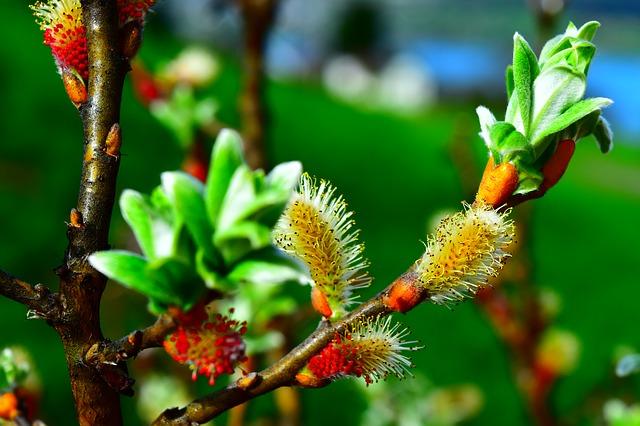 Weide - Salix